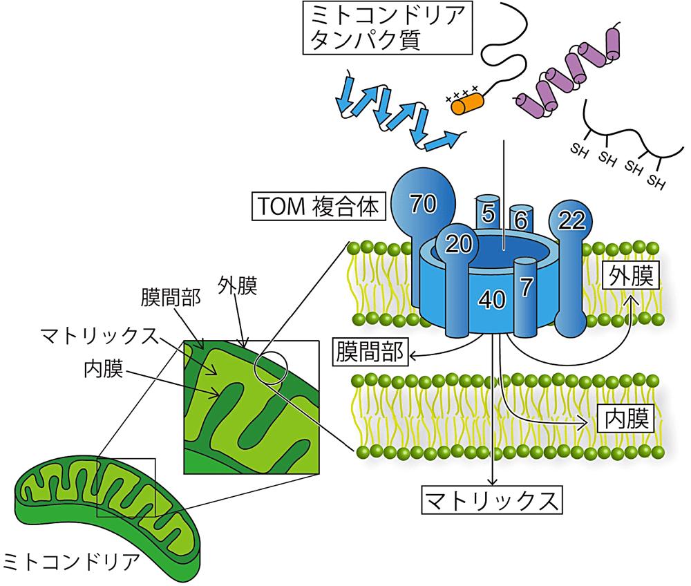 ミトコンドリアタンパク質輸送ゲート TOM 複合体の立体構造が解ける ...