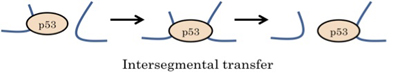 Intersegmental Transfer
