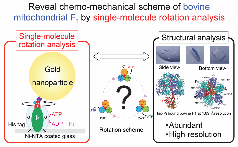 Reveal chemo-mechanical scheme of bovine mitochondrial F1 by single-molecule rotation analysis