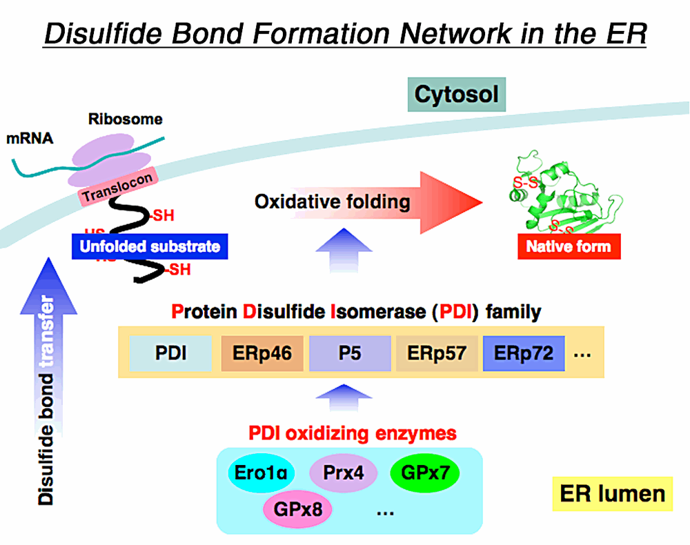 Disulfide bond formation network in th ER