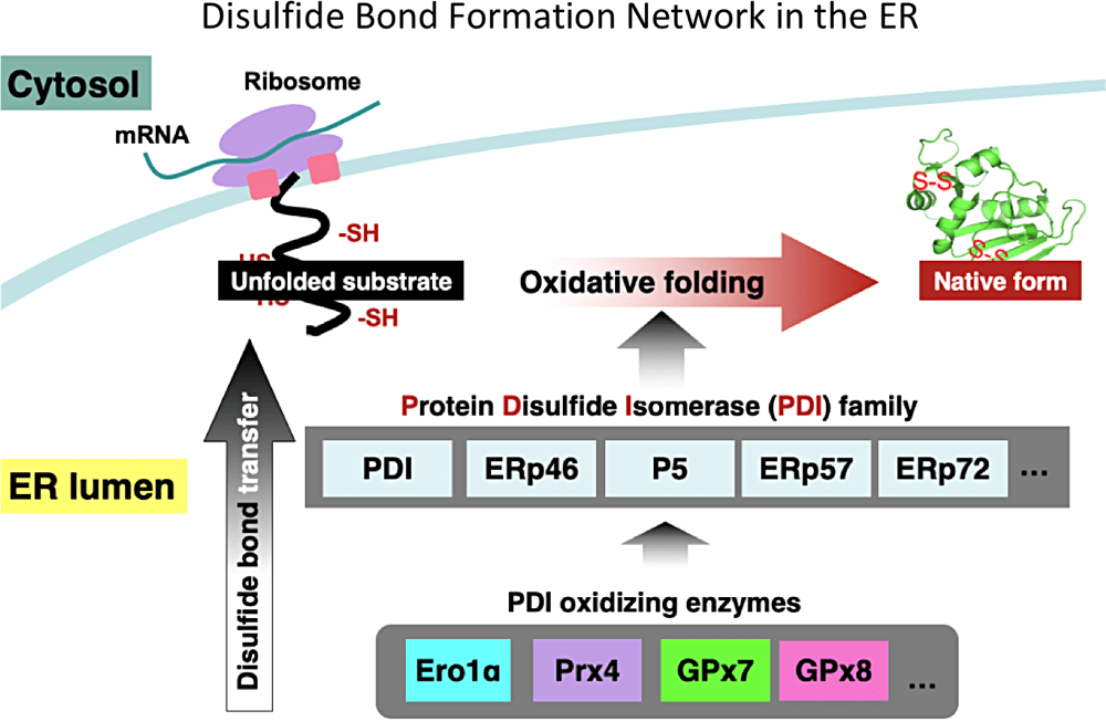 Disulfide Bond Formation Network in the ER